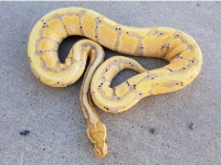 2017 BANANA PASTEL SPOTNOSE MALE MAKER 550 GRAMS
