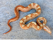 2016 Female Sharp Motley Sunglow Poss Het Anerythristic