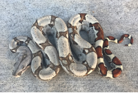 2016 Female Jungle Boa 100 percent Het Kahl Albino