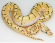 Ball Python Collection