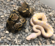 2019 Male Pastel Candino with 2 Het Candy Females