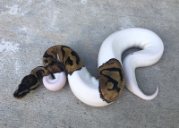 2018 FEMALE Pied Ball Python