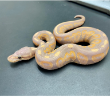 2020 Black Pastel Banana Male Yellow Belly
