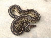 2016 Proven Breeder Pewter Het Pied Male Ball Python